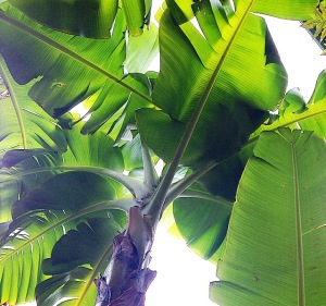 banana tree garden